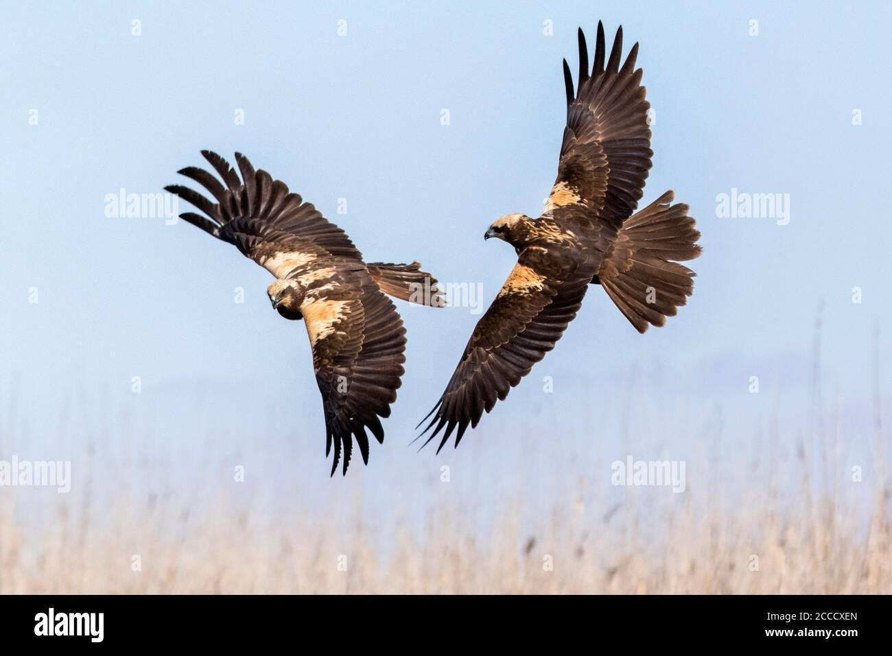 Two Western Marsh Harriers (Circus aeruginosus) fighting in midair near Toledo in Spain. Stock Photo