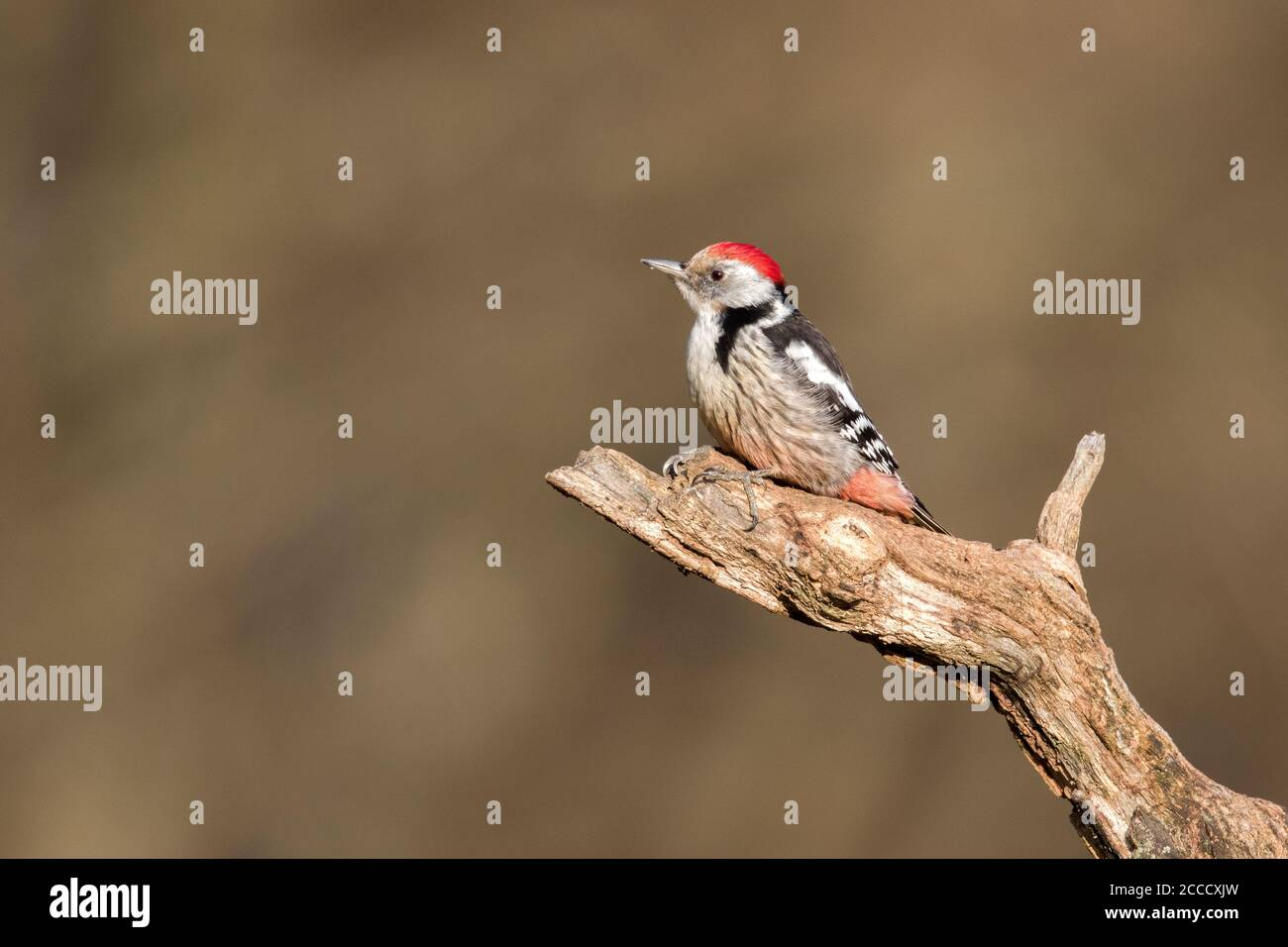 Middle Spotted Woodpecker (Dendrocoptes medius) in wild forest in Bialowieza, Poland. Stock Photo