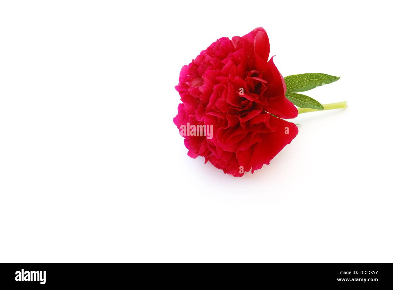 peonie on white background Stock Photo