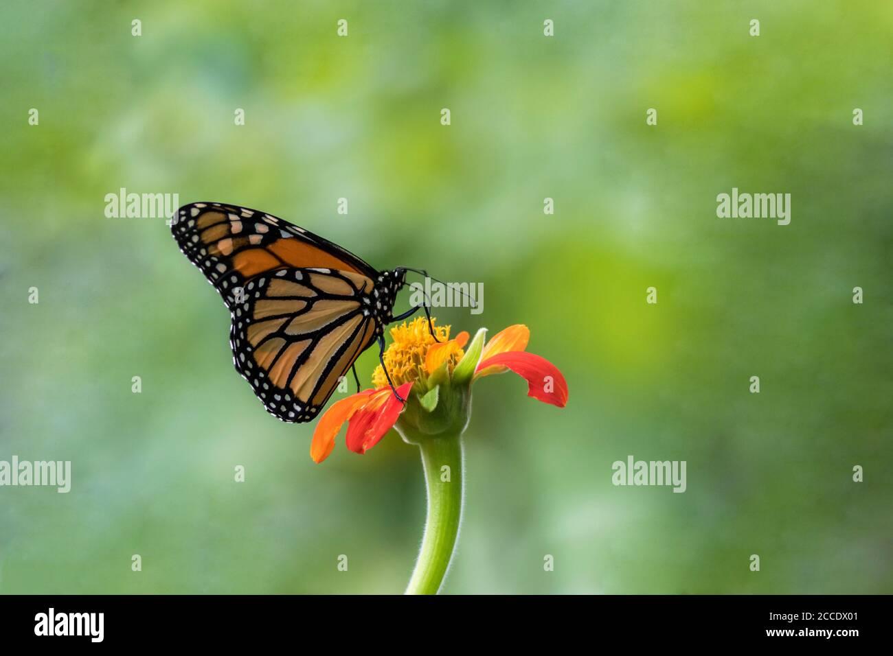 Monarch Butterfly, Danaus plexippuson, on orange Mexican Sunflower, Tithonia, green background Stock Photo