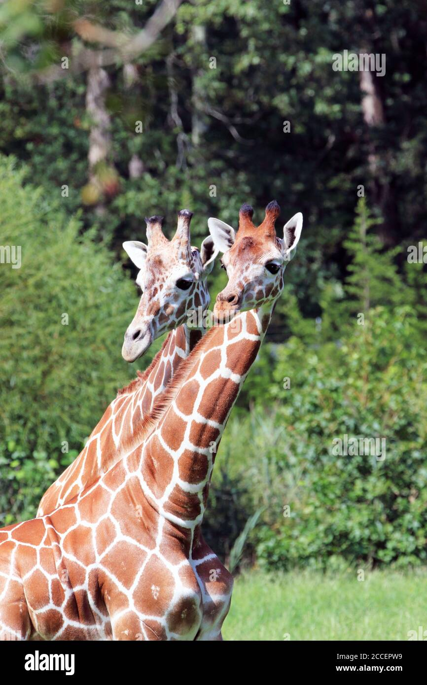 Reticulated Giraffes, Giraffa camelopardalis reticulata, at the Cape May County Zoo, Cape May Courthouse, New Jersey, USA Stock Photo