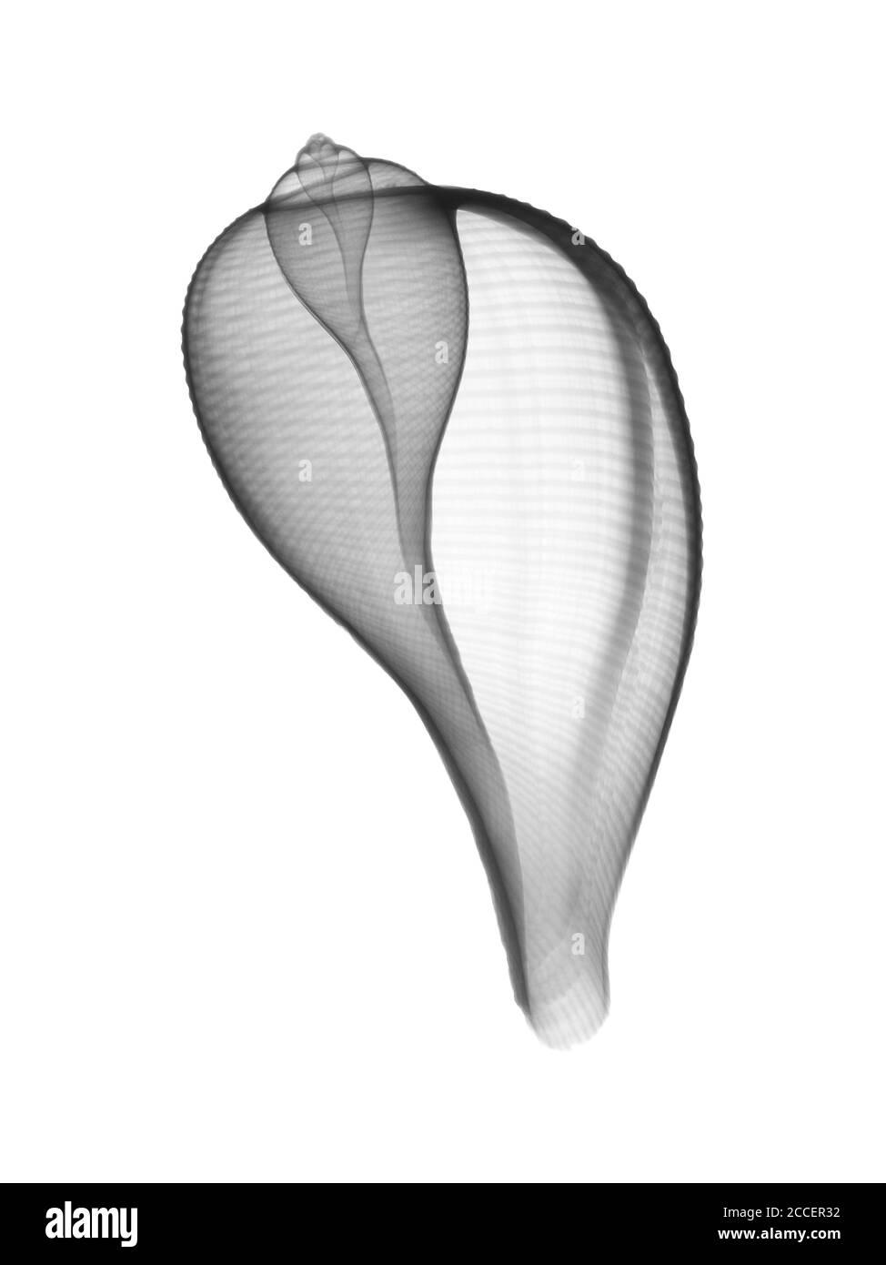 Seashell, X-ray Stock Photo