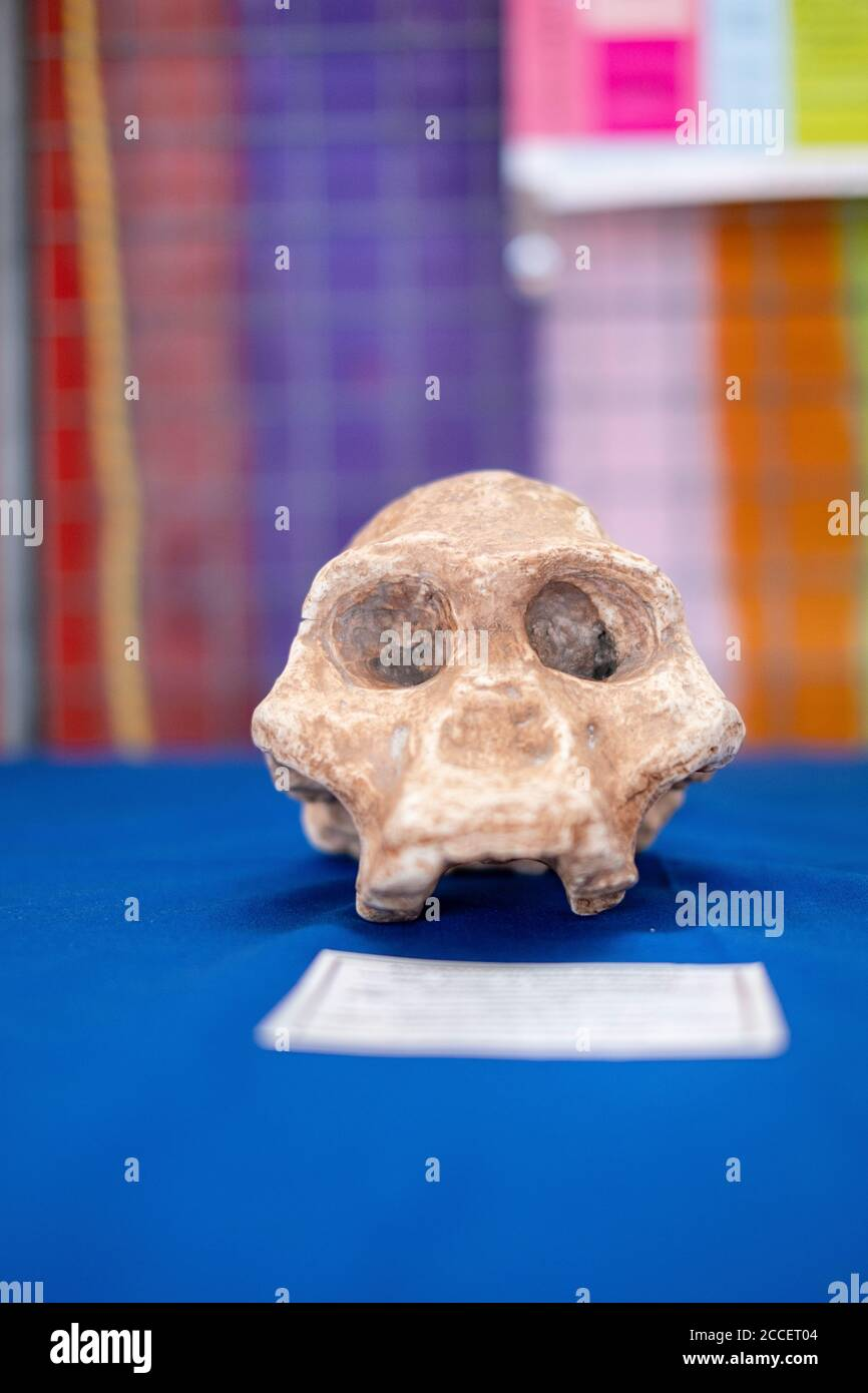 A monkey's skull bone is exhibited on blue fabric in front of a colorful wall Stock Photo