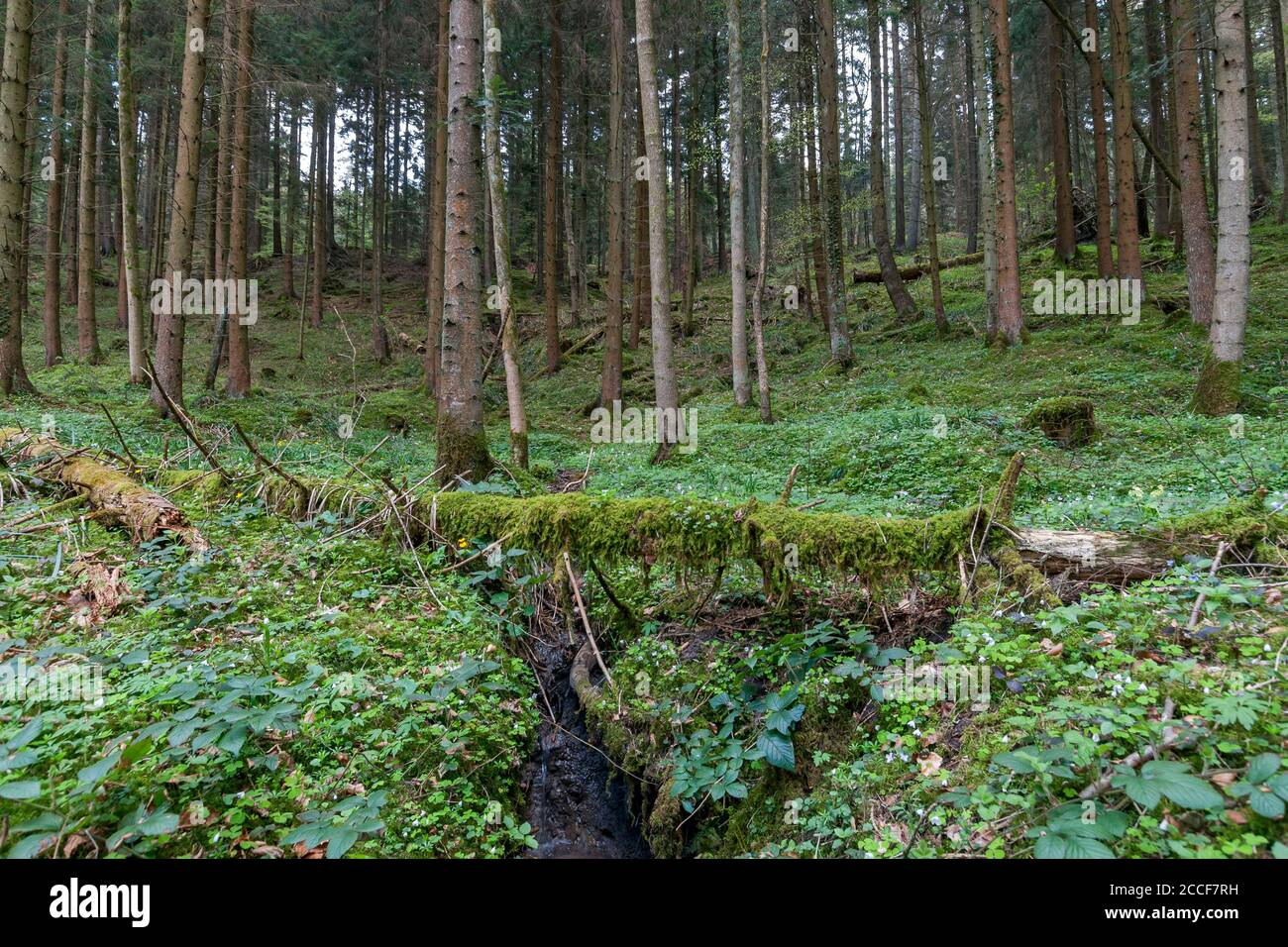 Germany, Baden-Württemberg, Murrhardt, Bannwald along the hiking trail through the Hörschbach Gorge in the Schwäbisch-Franconian Forest Nature Park. Stock Photo