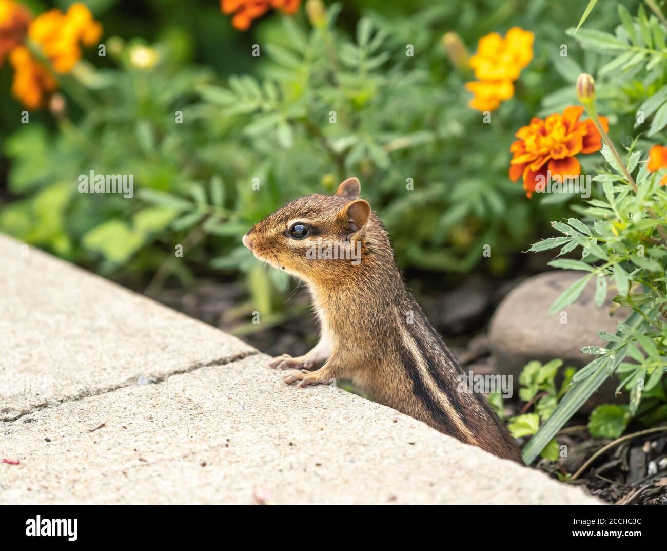 Eastern Chipmunk (Tamias striatus) in garden Stock Photo