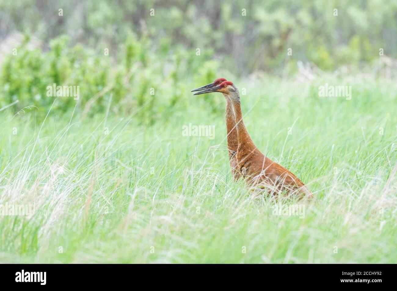 Pair of Sandhill Cranes feeding in wetland, Eastern North America, by Dominique Braud/Dembinsky Photo Assoc Stock Photo