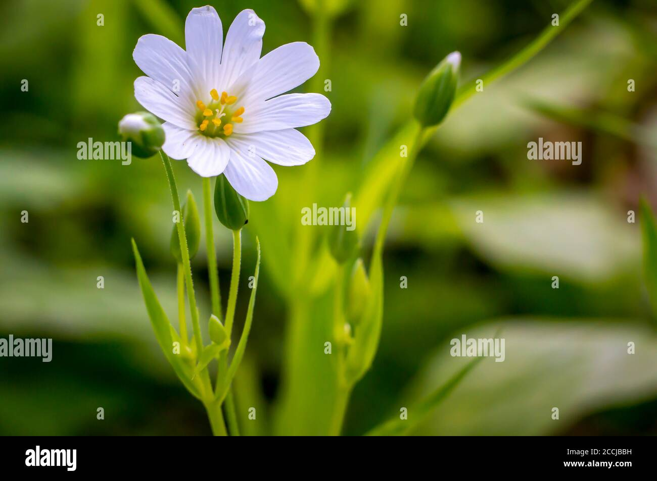 little white blossom flower from softplant in spring Stock Photo