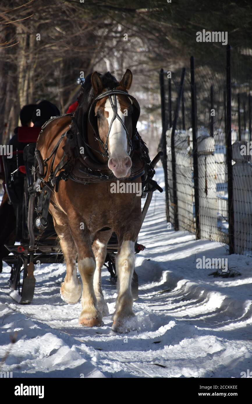 Clydesdale Horse In The Snow High Resolution Stock Photography And Images Alamy
