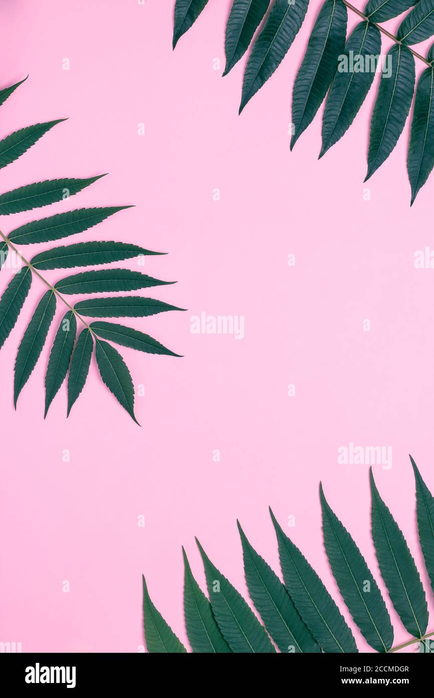 Pink Paper Background With Palm Branch And Leaves Frame With Green Twig Tropical Wallpaper Summer Mockup Flat Lay Composition Minimal Design Lea Stock Photo Alamy