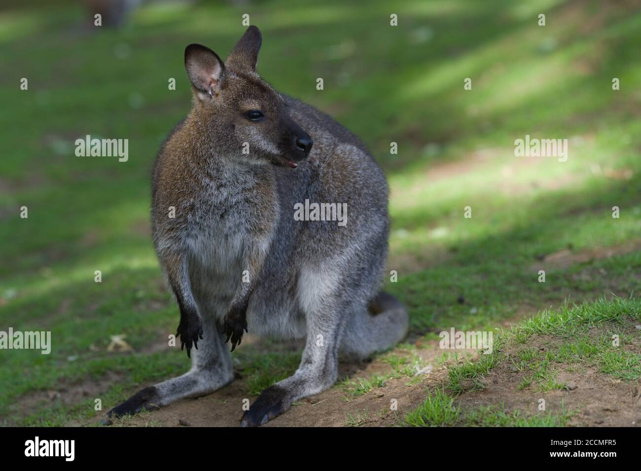 Wallaby Uk High Resolution Stock Photography And Images Alamy