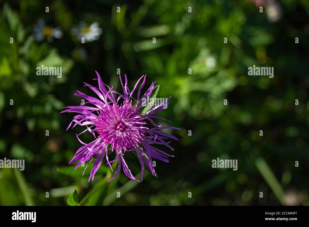 Knapweed Seed Head High Resolution Stock Photography And Images Alamy