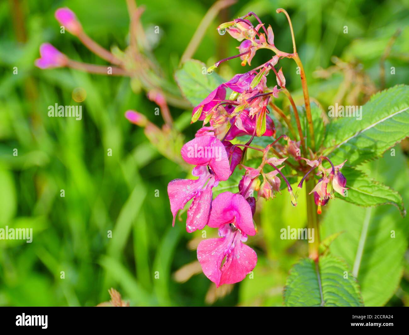 bright flowers of Himalayan balsam close to Stock Photo