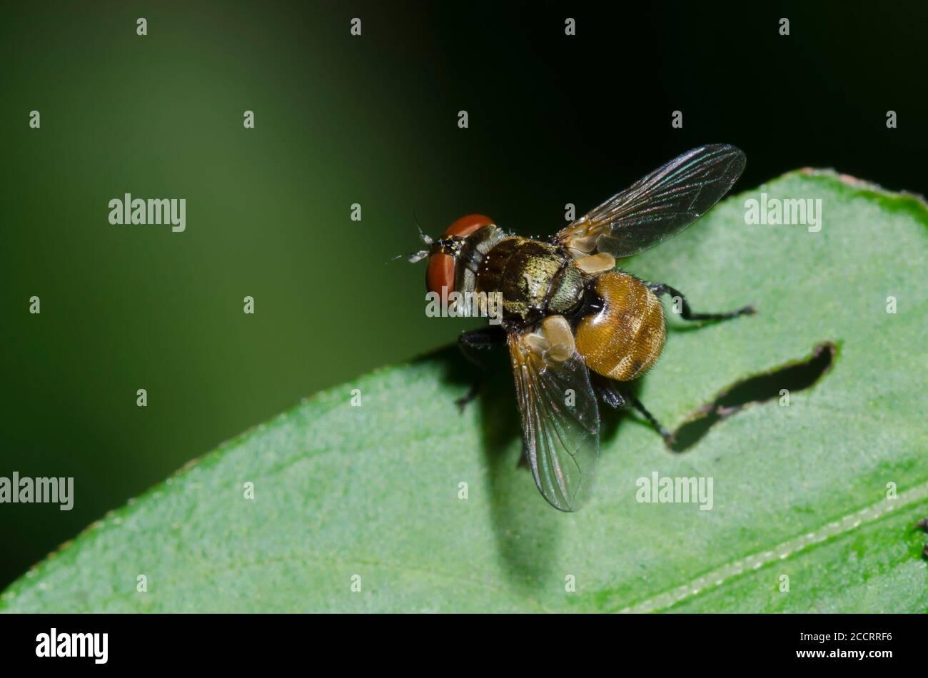 Tachinid Fly, Subfamily Phasiinae Stock Photo