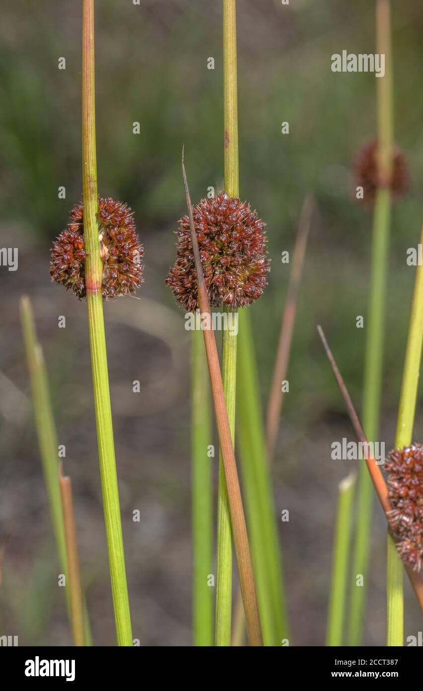 Compact rush, Juncus conglomeratus, in flower in wet meadow. Stock Photo