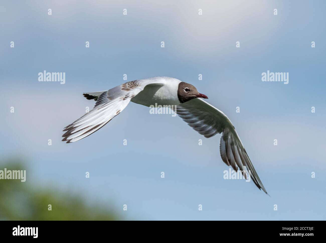 Adult Black-headed gull, Chroicocephalus ridibundus, in flight, during breeding season. Stock Photo