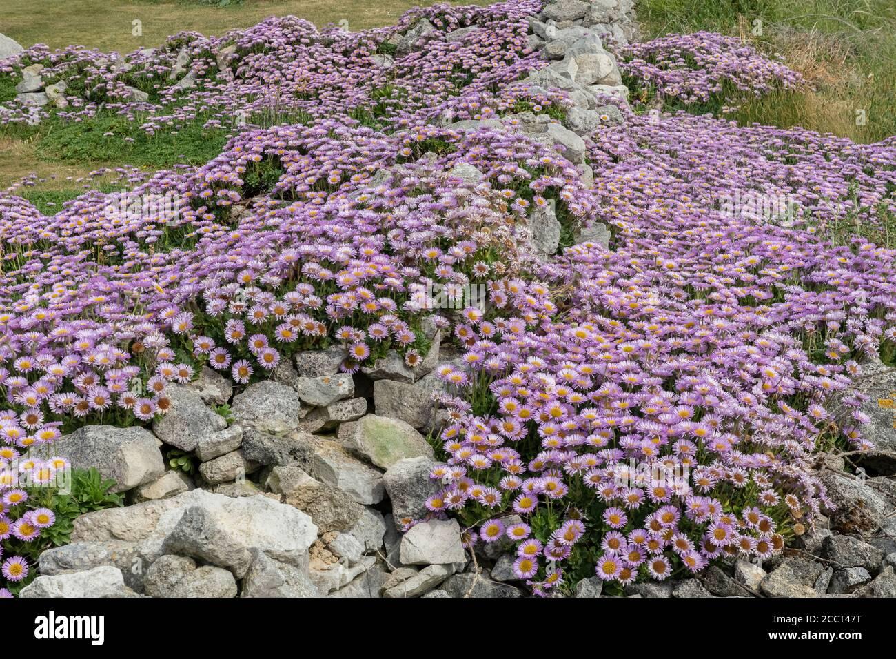 Seaside daisy, Erigeron glaucus, naturalised en masse on the limestone coast of Portland, Dorset. Stock Photo