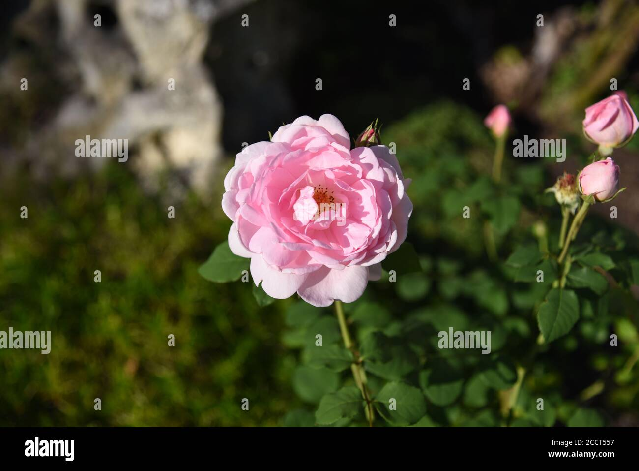 Rose with unsharp background Stock Photo