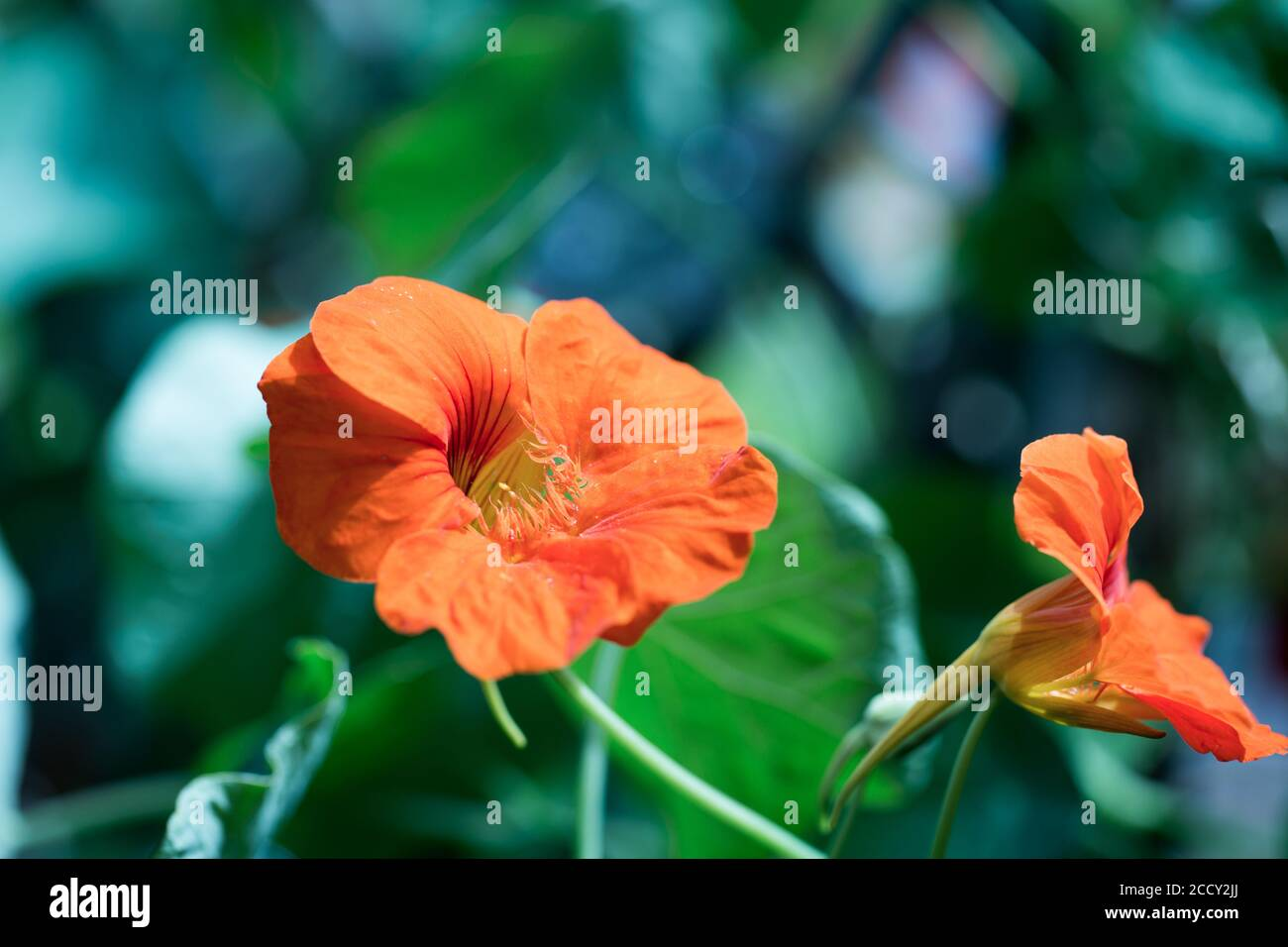 Bright Orange Nasturtium Flowers in full bloom against a bright green natural background.  A popular flower for children to grow as easy to grow Stock Photo