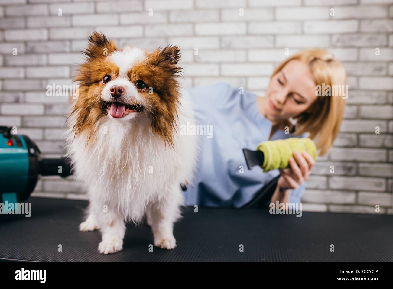 professional groomer haircut spitz dog in the beauty salon for dogs. the concept of popularizing haircuts and caring for dogs, domestic animals Stock Photo