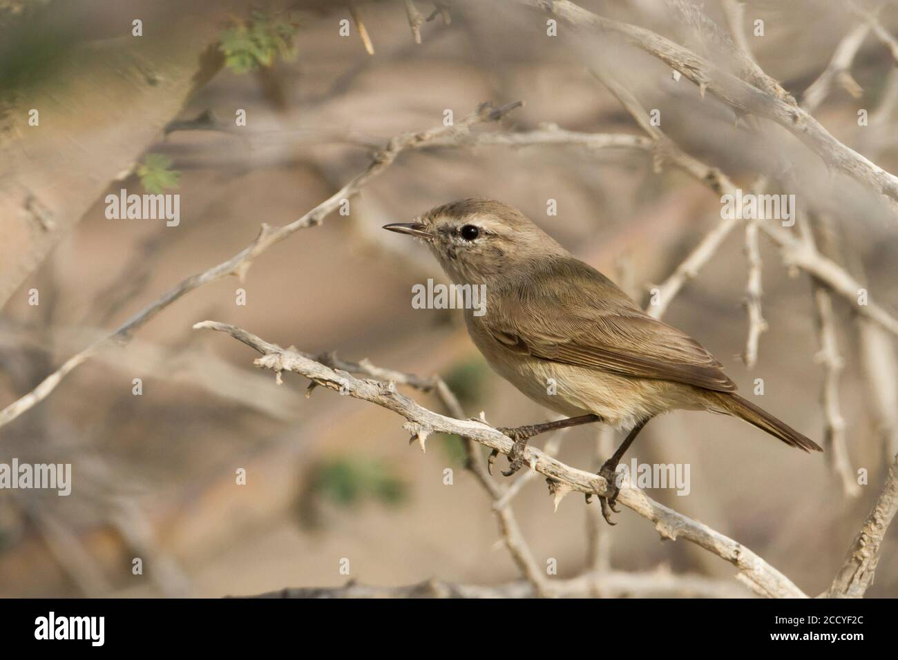 Plain-leaf Warbler (Phylloscopus neglectus) Oman, adult peched in a bush Stock Photo