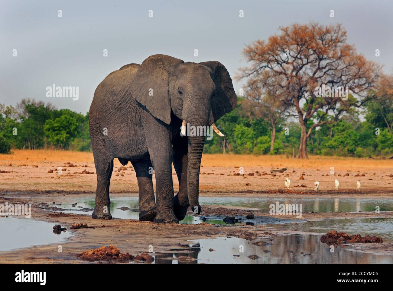 African Elephant standing at a waterhole with the african vegetation in the background.  Makololo, Hwange National Park, Zimbabwe, Southern Africa Stock Photo
