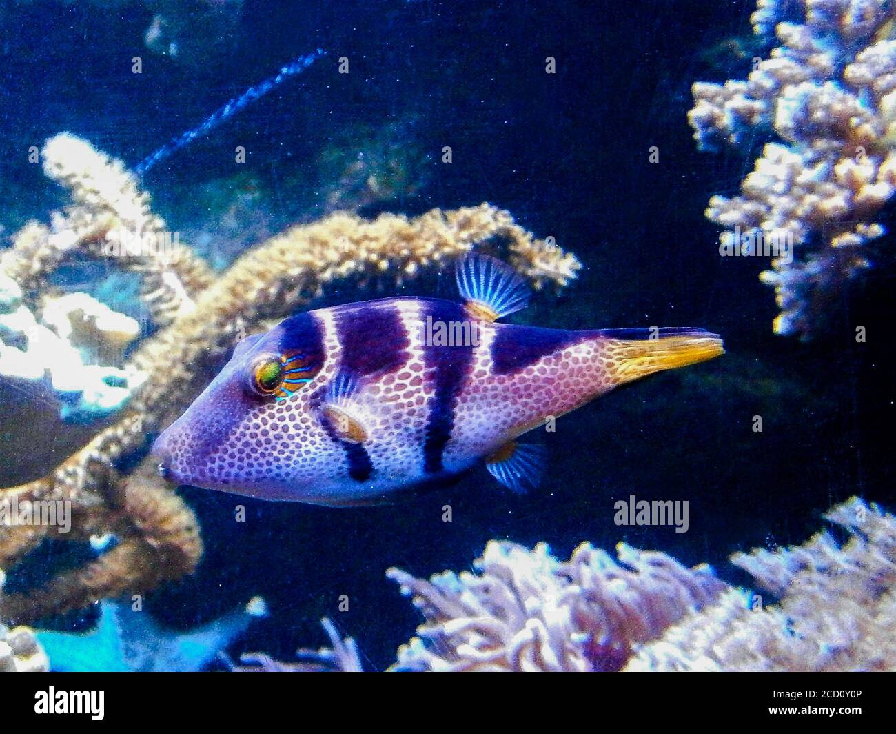 Spider's Eye Puffer - Canthigaster valentini a saltwater fish with a distinctive pattern. Stock Photo