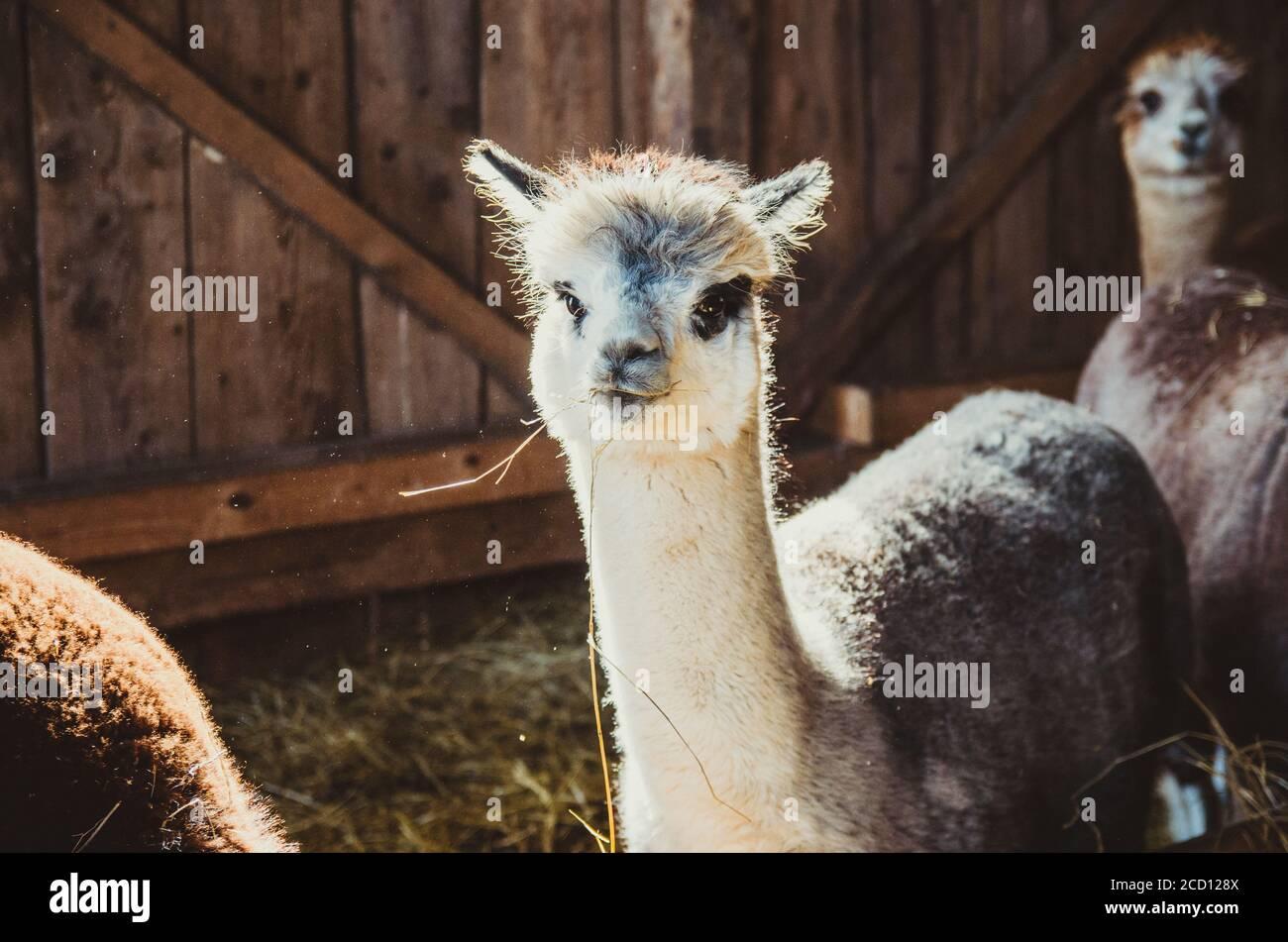 Cute alpaca in the barn eating hay Stock Photo