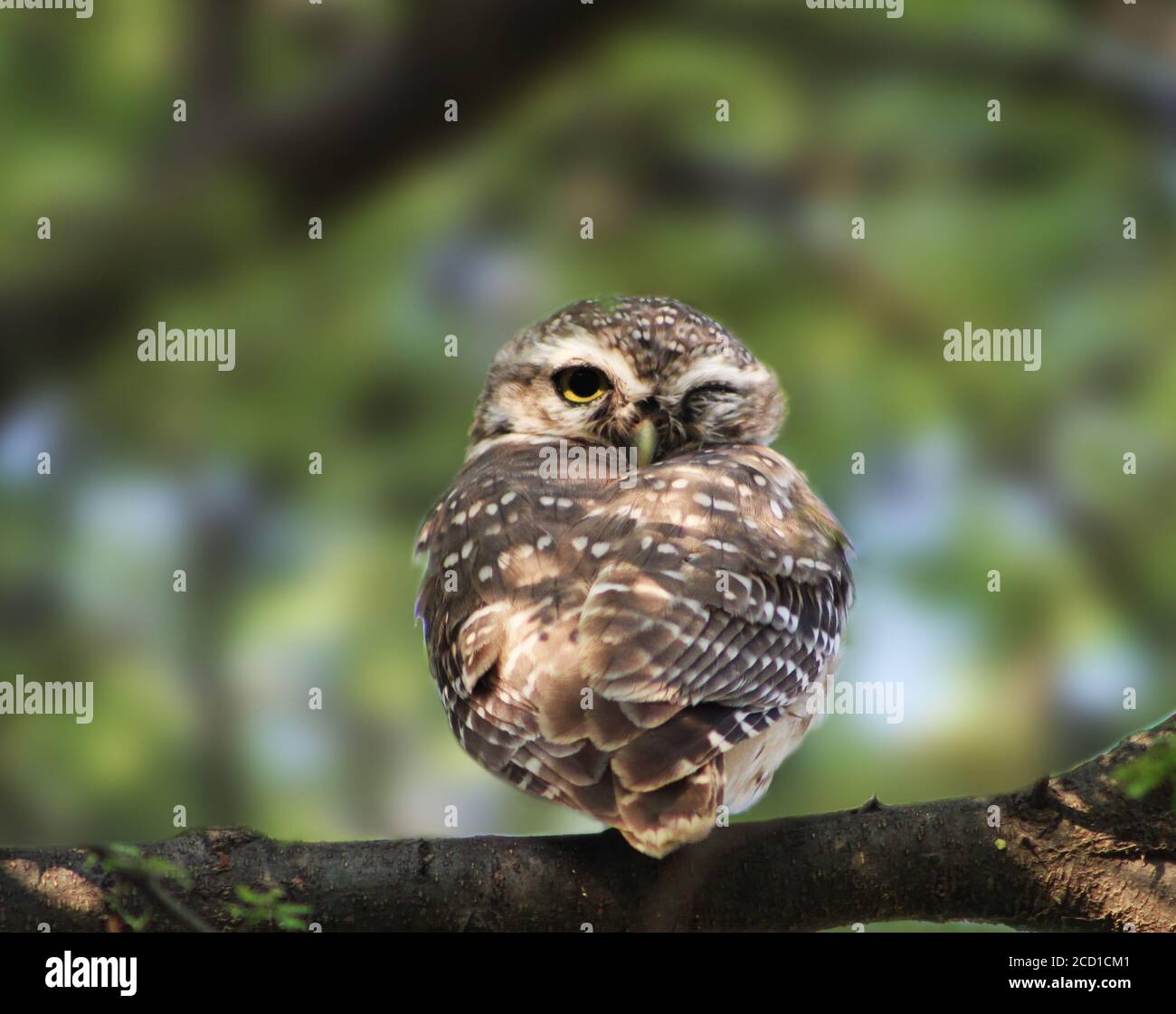 The Winking Owl High Resolution Stock Photography and Images - Alamy