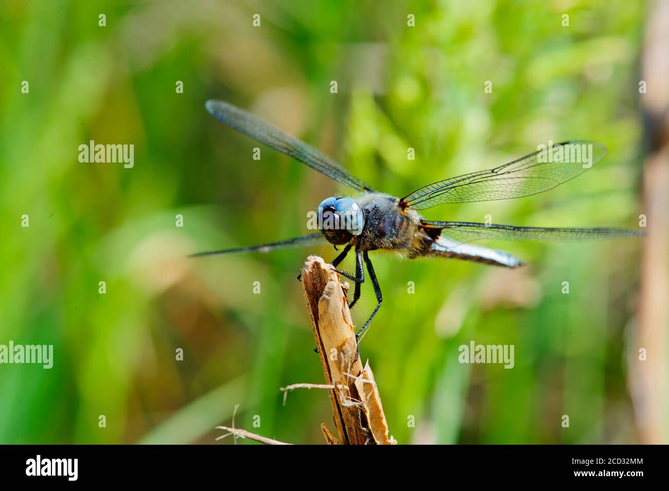 Colorful Dragonfly resting on a twig with blurred green nature background Stock Photo