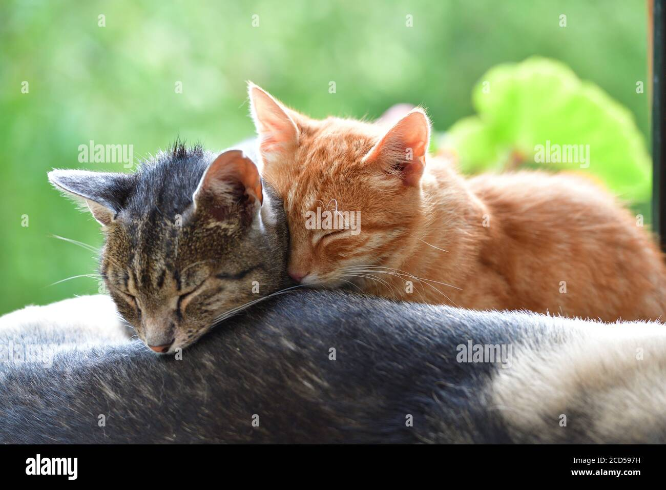 Two domestic cats to snuggle each other and show love Stock Photo
