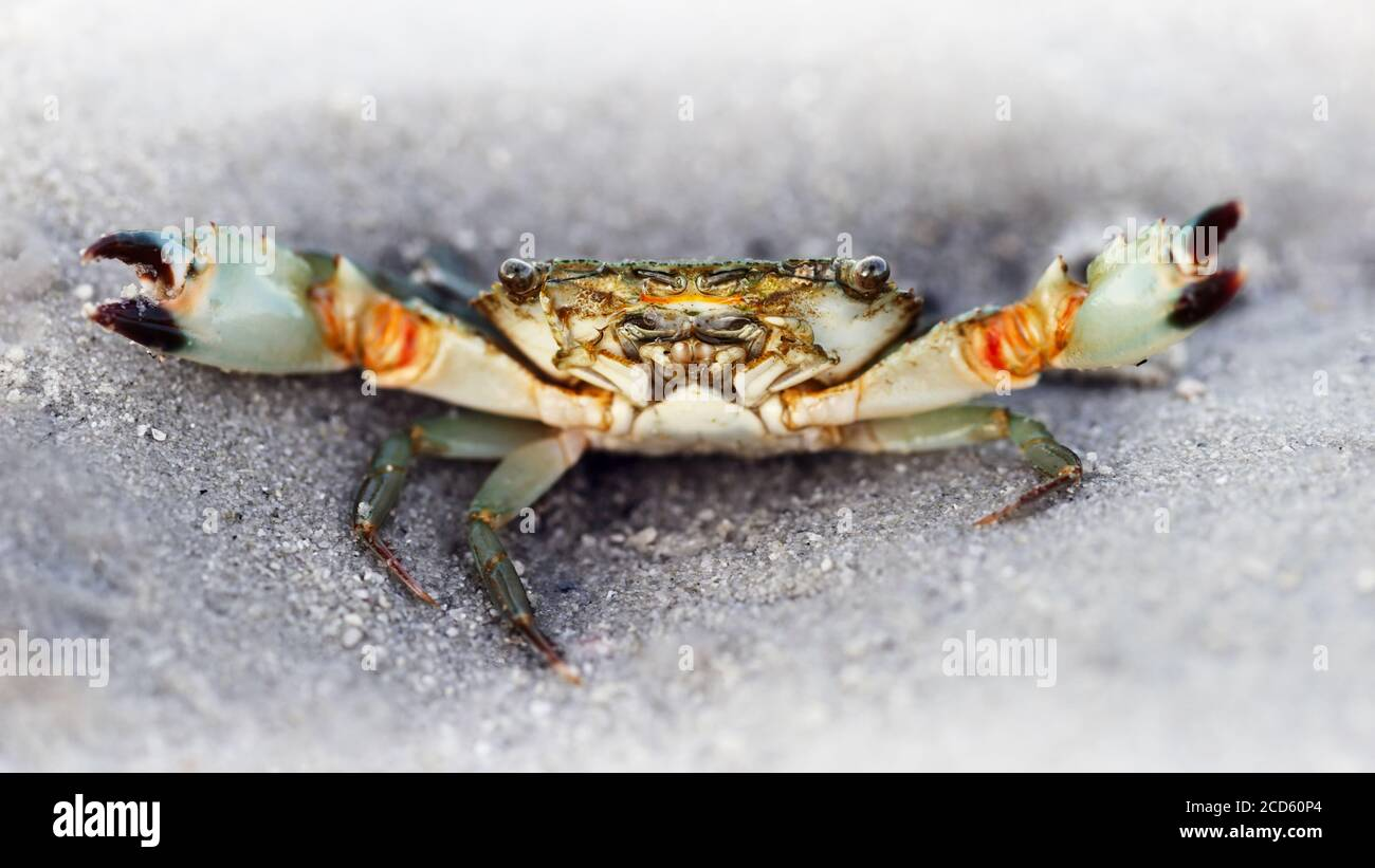 black ghost crab on the beach, two big eyes to see the danger, two claws for defense, a strong carapace for protection Stock Photo
