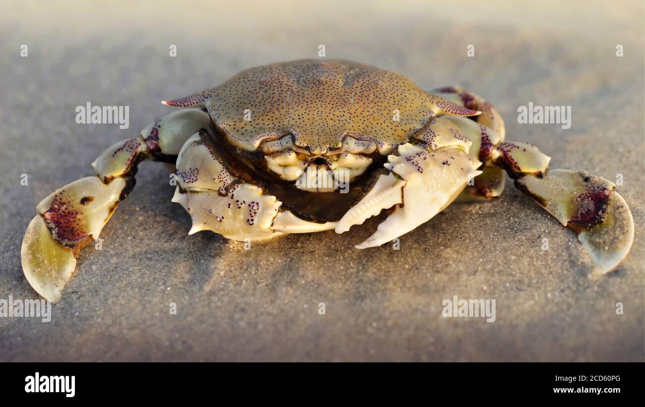 crab on the sand at sunset, a strong carapace for protection and two big claws for defense, this crustacean is a formidable fighter. macro photo Stock Photo