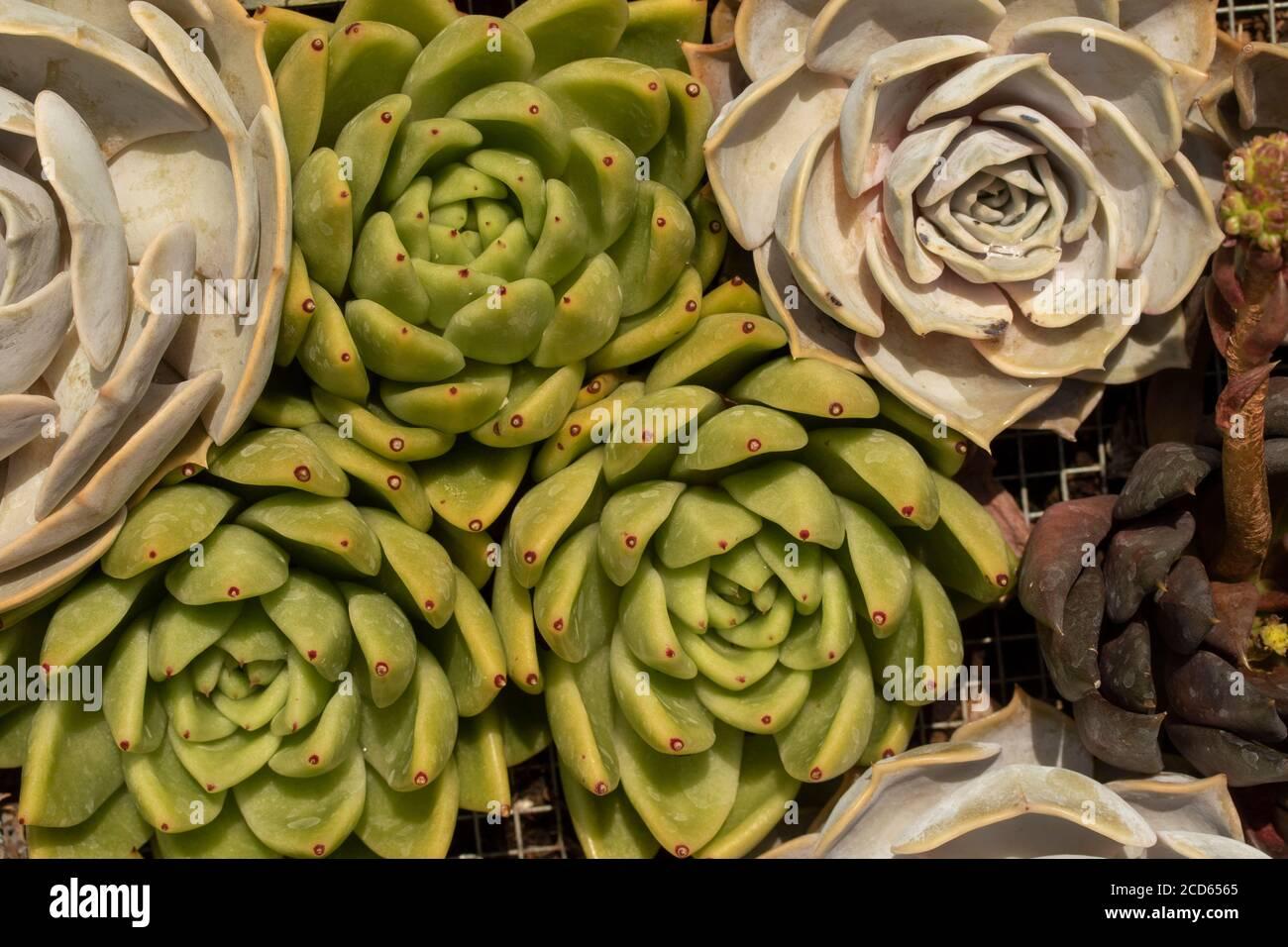 Sempervivum (houseleeks) in close-up, plant portrait Stock Photo