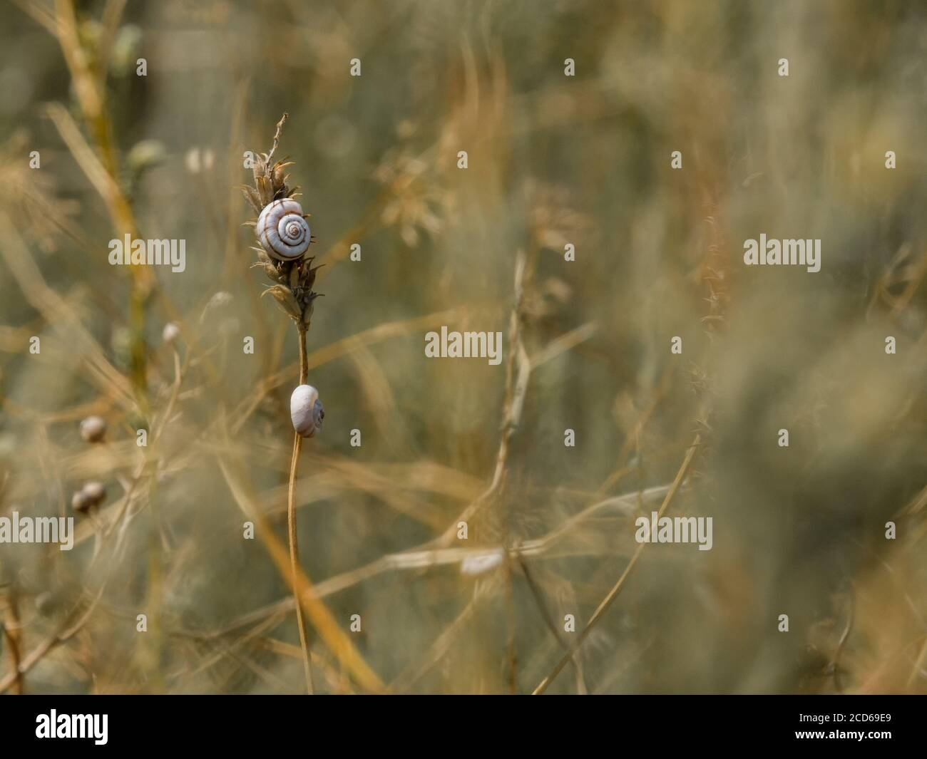 Selective focus on small spiral shells of steppe snails on dried plant stems. Beautiful natural background. Macro shot of molluscs in the wild. Copy Stock Photo