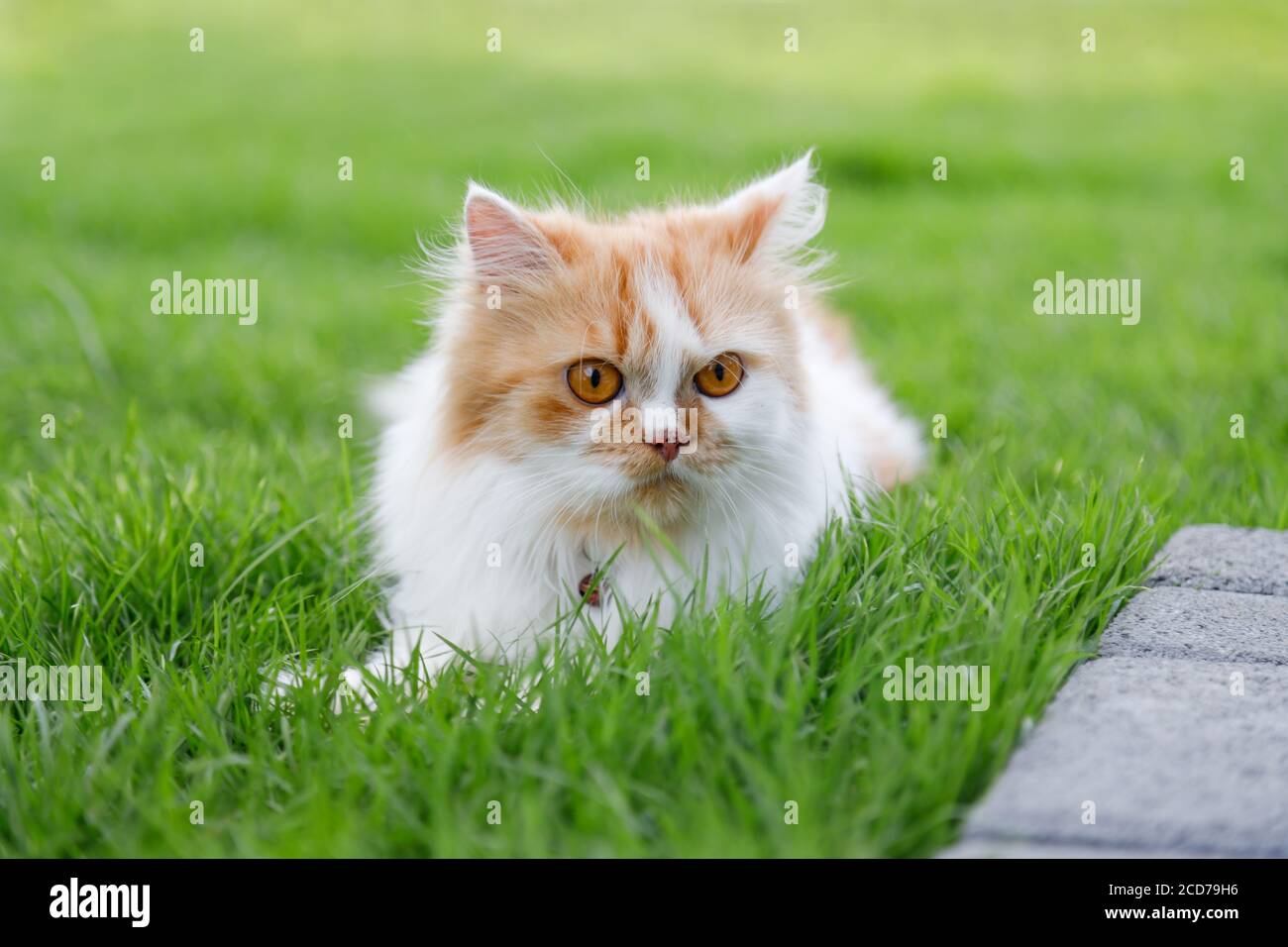 The cute Persian cat is sitting on a green grass field, and looking something, selective focus shallow depth of field Stock Photo
