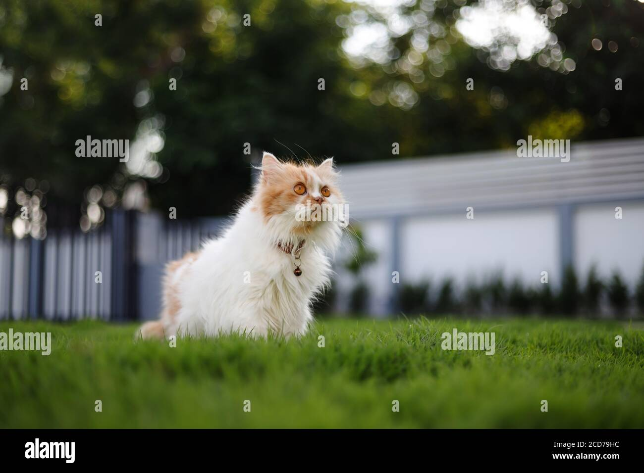 The cute Persian cat sitting on a green grass field, and looking something, selective focus shallow depth of field Stock Photo
