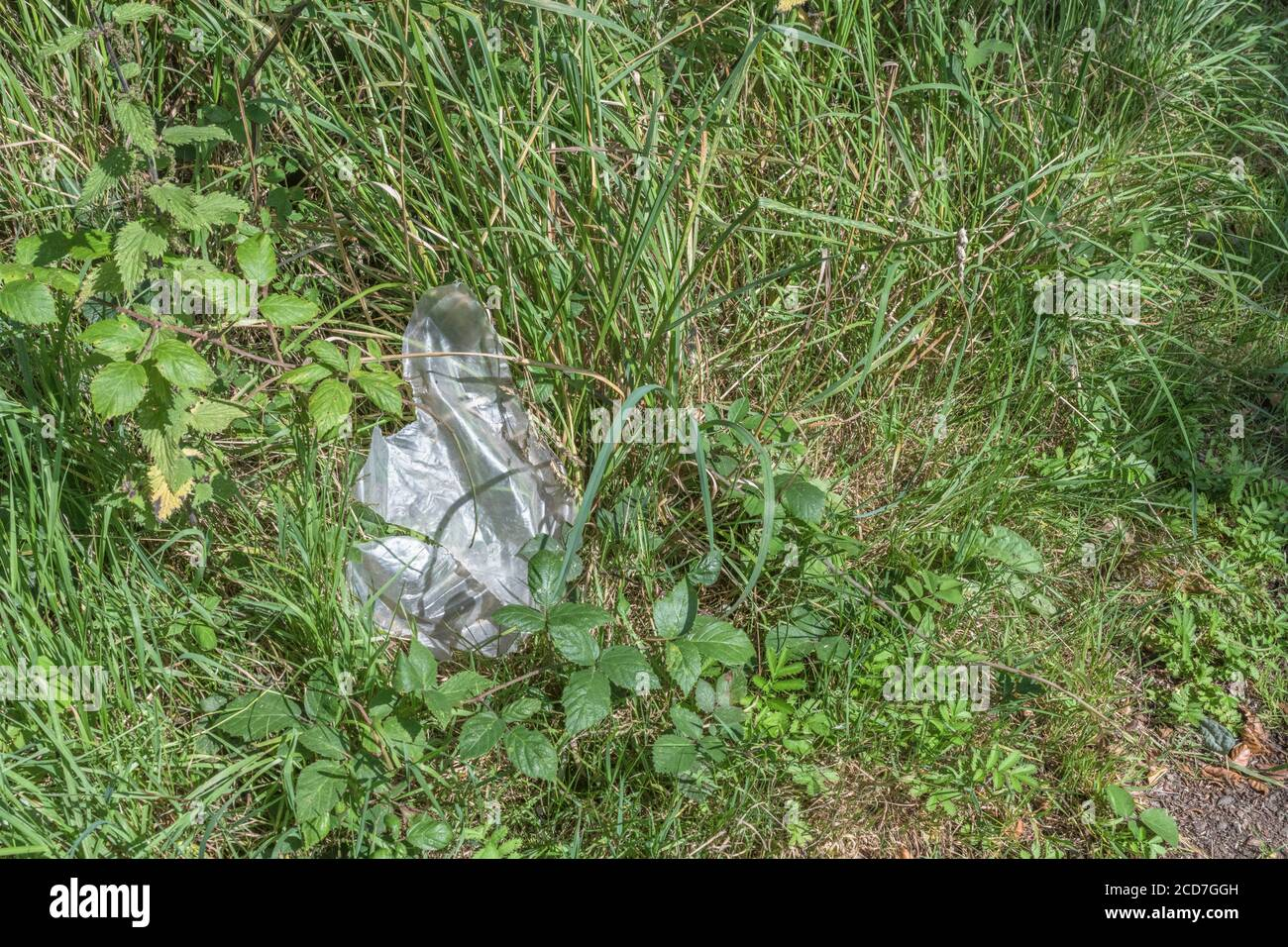 Clear wrap plastic sheet discarded in rural hedgerow. Metaphor plastic pollution, environmental pollution, war on plastic waste, plastic rubbish. Stock Photo