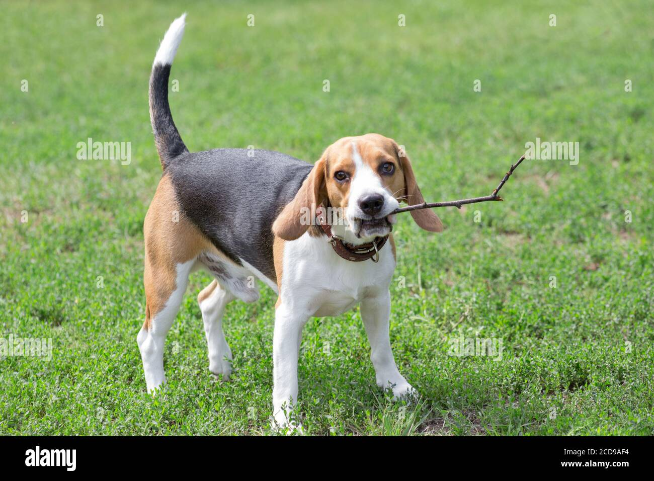 Cute English Beagle Puppy With A Twig In His Teeth Summer Park Pet Animals Purebred Dog Stock Photo Alamy