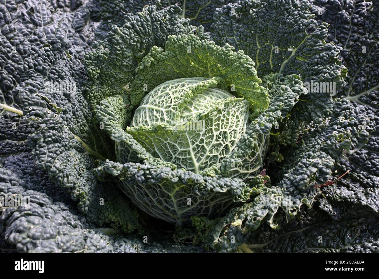 Green cabbage (Brassica oleracea) background like kale and spring greens a vegetable grown for its fresh nutition food health benefits stock photo ima Stock Photo