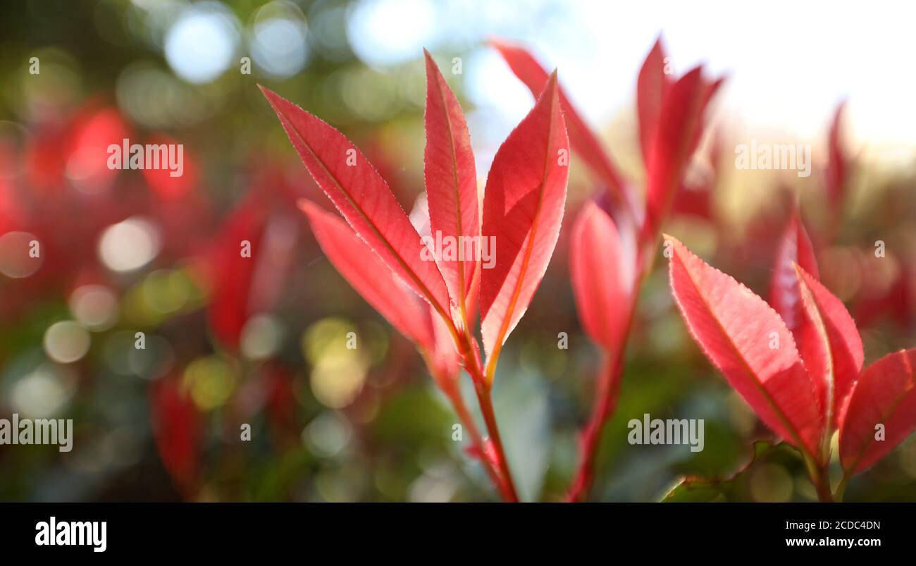 Beautiful closeup of stunning delicate elegant red new growth photinia tree leaves with backlit sunlight streaming through the leafy foreground. Stock Photo