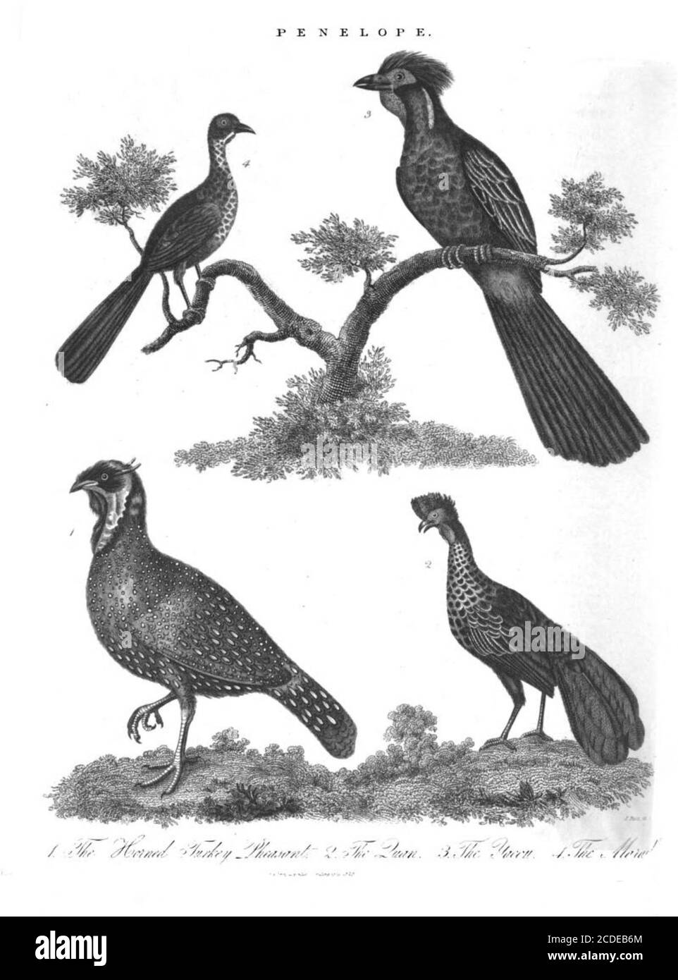 4 Penelope species of Turkey Pheasants [Penelope is a bird genus in the family Cracidae consisting of a number of large turkey-like arboreal species, the typical guans.] Copperplate engraving From the Encyclopaedia Londinensis or, Universal dictionary of arts, sciences, and literature; Volume XIX;  Edited by Wilkes, John. Published in London in 1823 Stock Photo