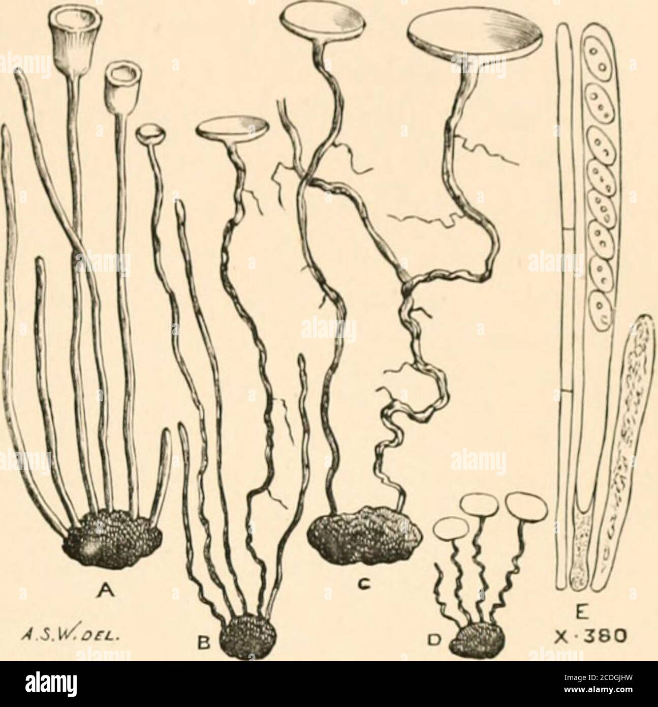 . Introduction to the study of fungi, their organography, classification, and distribution for the use of collectors . 1 Orcvillca, Dec. 1892,  37.. Fig. 3. —Sclerotia gerniiuating and producing Pezizae,A to D. Ascus and sporidia, E. Gard. Vhron. 16 INTRODUCTION TO THE STUDY OF FUNGI We have biietly directed attention to the ordinary develop-ments of mycelium, whether filamentous or sclerotioid, butthere are still one or two special modifications which mustobtain a passing reference. Of these the mycelium of theUredineae is deserving of mention, being formed within thetissues of living plant Stock Photo