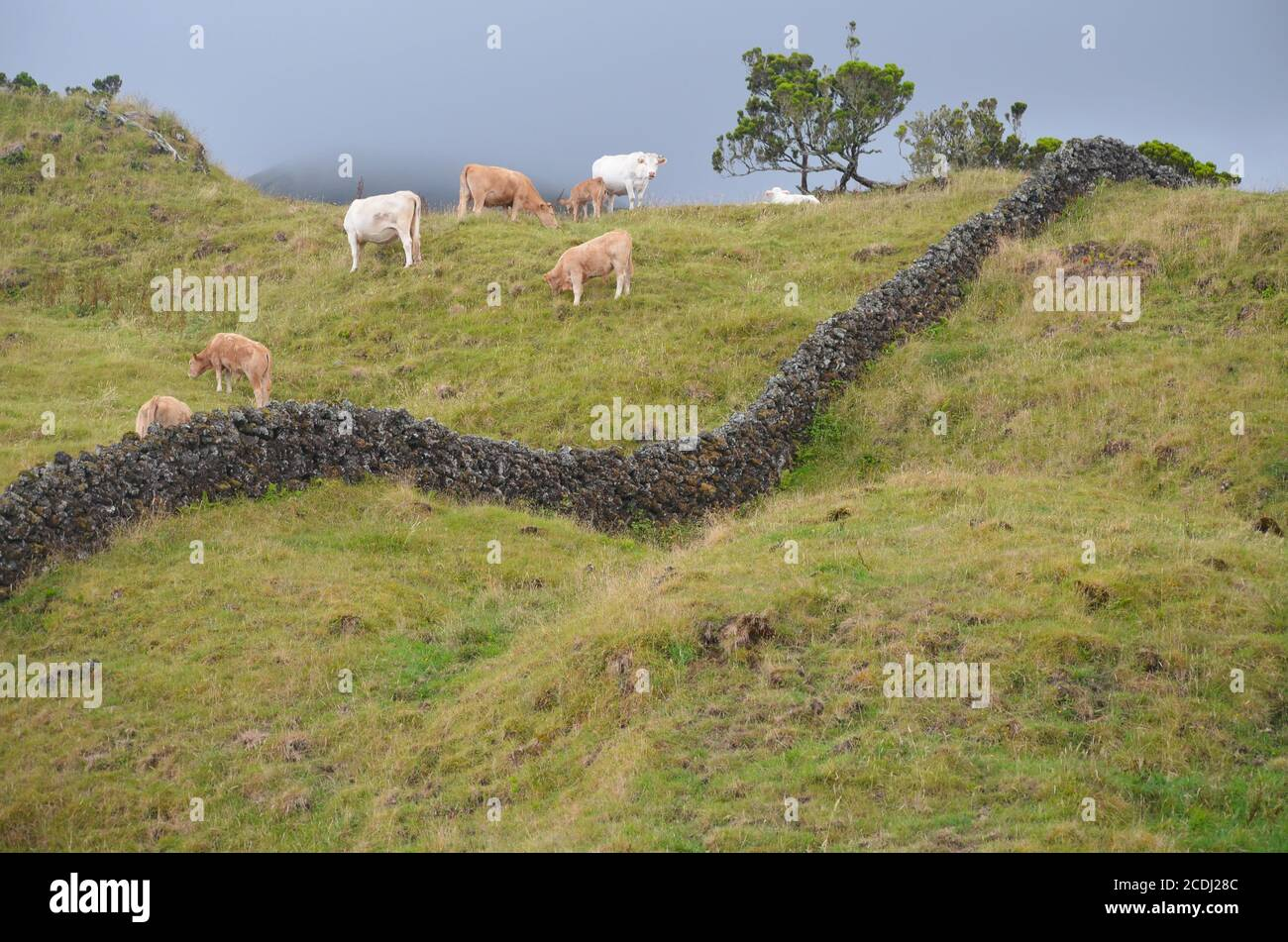 Cattle in Pico island, Azores archipelago, one of Europe's most rural regions Stock Photo