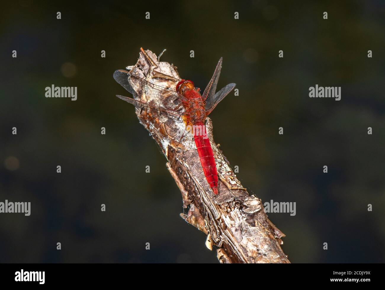 Male Broad scarlet, Crocothemis erythraea, perched over lake. France. Stock Photo