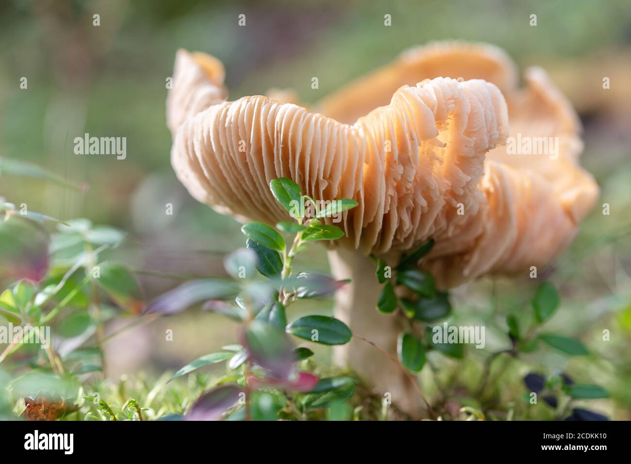 Big old ugly russula mushroom in a green crowberry bushes in the finland forest Stock Photo