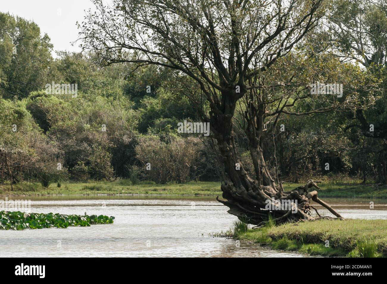 Villa Florida, Paraguay. 9th September, 2007. A general view of twisted and curled tree standing on a riverside along the Tebicuary River on the border of Paraguari and Misiones Department, in the Eastern Region (Region Oriental) of Paraguay. Stock Photo