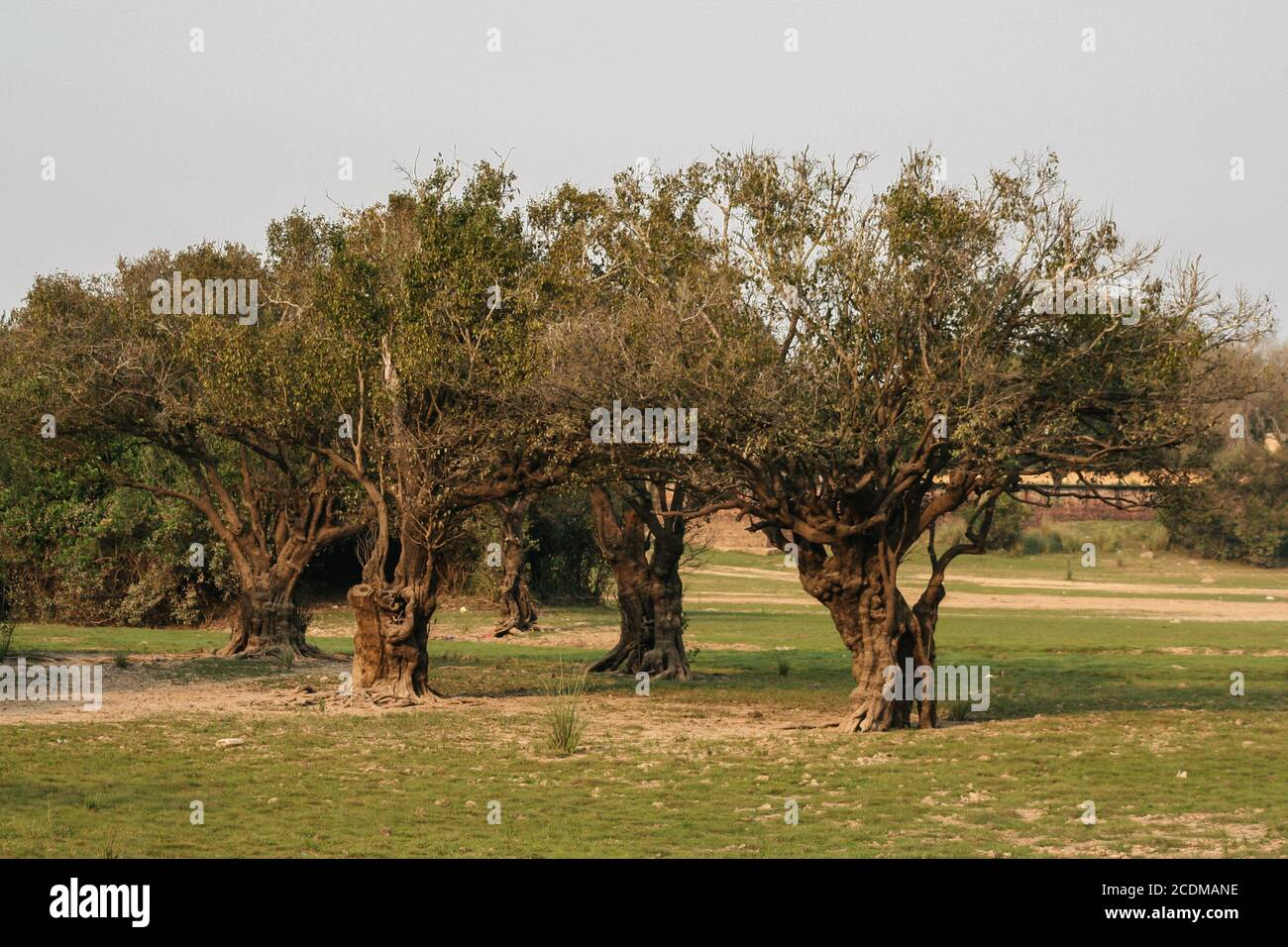 Villa Florida, Paraguay. 9th September, 2007. A general view of twisted and curled trees standing on a riverside along the Tebicuary River on the border of Paraguari and Misiones Department, in the Eastern Region (Region Oriental) of Paraguay. Stock Photo