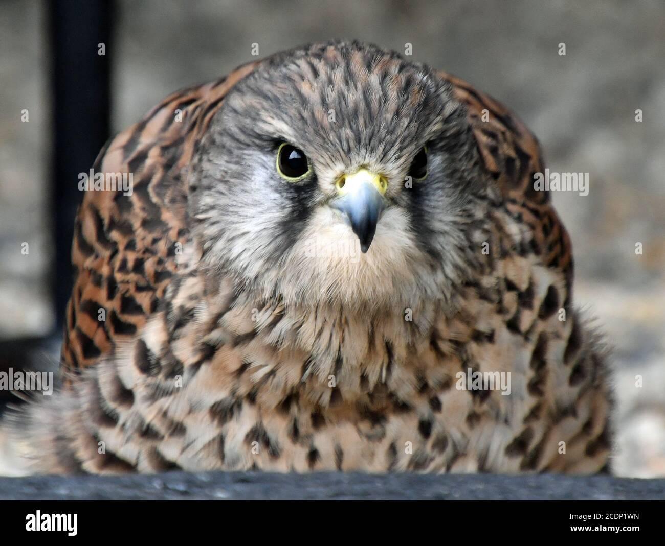 Suffolk Owl Sanctuary, Stonham Aspal, Suffolk, UK Stock Photo