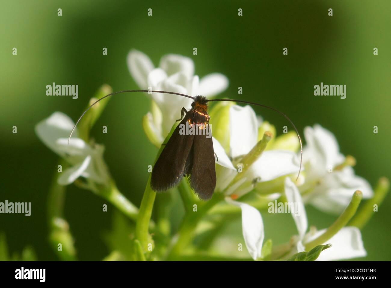 Longhorn moth Cauchas rufimitrella of the family Adelidae on the flowers of garlic mustard (Alliaria petiolata), family Brassicaceae, Cruciferae. Stock Photo