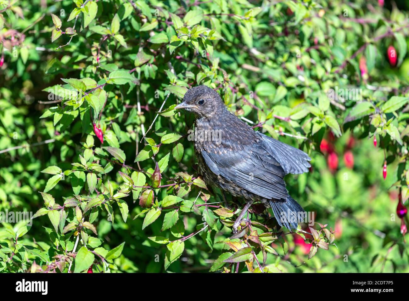 Juvenile European Starling, Sturnus vulgaris, Lancashire, England, Great Britain Stock Photo